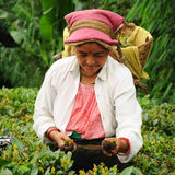 Woman pick tea leafs, Darjeeling, India Stock Photo