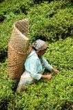 Woman pick tea leafs, Darjeeling, India royalty free stock photo