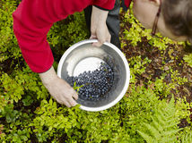Woman pick up blueberries Stock Images
