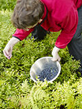Woman pick up blueberries Royalty Free Stock Image