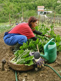 Woman picked chard