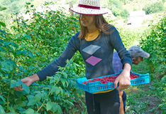 Woman picker with crates of fresh, sweet, red raspberries Royalty Free Stock Photo