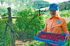 Woman picker with crates of fresh, sweet, red raspberries Stock Photo