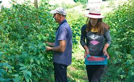 Woman picker with crates of fresh, sweet, red raspberries Royalty Free Stock Photography