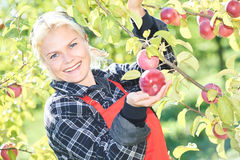 Woman picker portrait in apples orchard Royalty Free Stock Image
