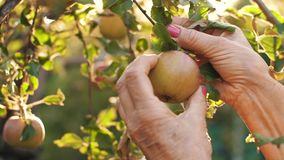 Woman picking an apple on sunset. Woman in garden collects apples stock video footage