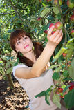 A woman picking apple from a tree Stock Photography