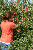 Woman picking apple from tree. In apple orchard in upstate NY Stock Photo