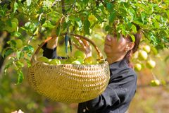 Woman picking apples. Young woman picking apples in a basket Stock Photo