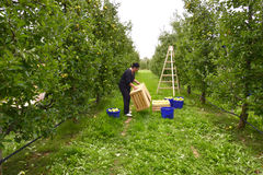 Woman picking apples in the orchard in Resen, Macedonia Stock Photos