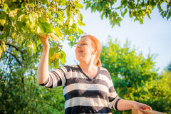 Woman picking apples Stock Photo