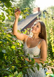 Woman picking apples from trees on farm at sunny day Stock Image