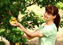 Woman picking apricots. In fruit garden from an apricot tree stock images