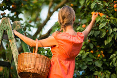 woman picking apricots Stock Photo