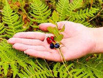 Woman picking berries in the woods. She put a hand on the red cranberries and blueberries on a branch with leaves. Fern for the background stock image
