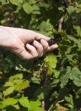 Woman picking blackberries Stock Images