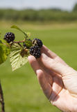 Woman picking blackberries Royalty Free Stock Photography