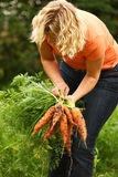 Woman picking carrots Stock Image