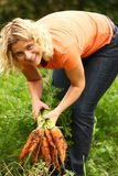 Woman picking carrots Royalty Free Stock Image