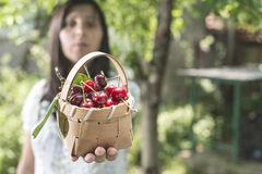 Woman picking cherries in the garden Stock Photos