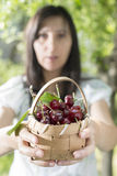 Woman picking cherries in the garden Royalty Free Stock Photo