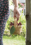 Woman picking cherries in the garden Stock Photography