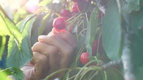 Woman picking cherries at the garden. Woman picks and eats sweet cherries stock video footage