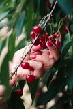 Woman picking cherry berries from tree. Fresh cherry berries, lots of leaves stock images