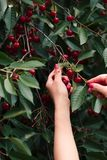Woman picking cherry berries from tree. Lots of cherry berries, leaves, fresh fruits royalty free stock photos