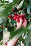 Woman picking cherry berries from tree. Lots of cherry berries, leaves, fresh fruits royalty free stock photo