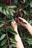 Woman picking cherry berries from tree. Fresh cherry berries, lots of leaves royalty free stock photography