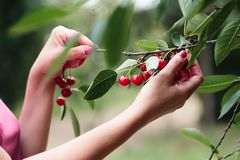 Woman picking cherry berries from tree. Fresh cherry berries ,many leaves royalty free stock photo