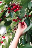 Woman picking cherry berries from tree. Fresh cherry berries, lots of leaves stock image
