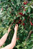 Woman picking cherry berries from tree. Fresh cherry berries, lots of leaves stock photos