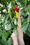 Picking cherry with two hands Stock Images