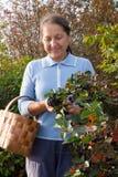 Woman picking chokeberry Stock Photo