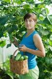 Woman picking cucumber Stock Image