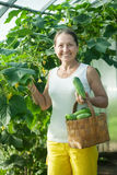 Woman picking cucumbers Stock Photography