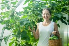 Woman picking cucumbers Royalty Free Stock Photo