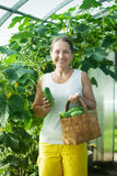 Woman picking cucumbers Royalty Free Stock Photography