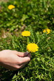 Woman is picking dandelion Royalty Free Stock Image