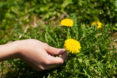 Woman is picking dandelion Royalty Free Stock Photo