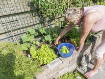 Woman picking fresh lettuce from the garden Royalty Free Stock Photos