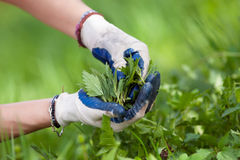 Woman picking fresh nettles Royalty Free Stock Photography