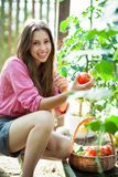 Woman picking fresh tomatoes Stock Photo