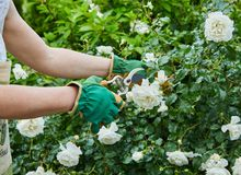 Woman picking fresh white roses in her garden Stock Images