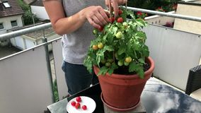 Woman picking fruits from a tomato plant on the balcony stock video footage
