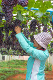 Woman picking grape Stock Images