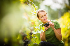 Woman picking grape Stock Photos