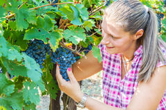 Woman picking grape during wine harvest Stock Photos
